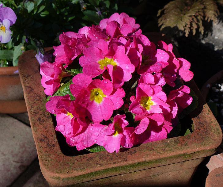 ピンクのプリムラ・ジュリアンの花がたくさん咲いた。2017年-1.jpg