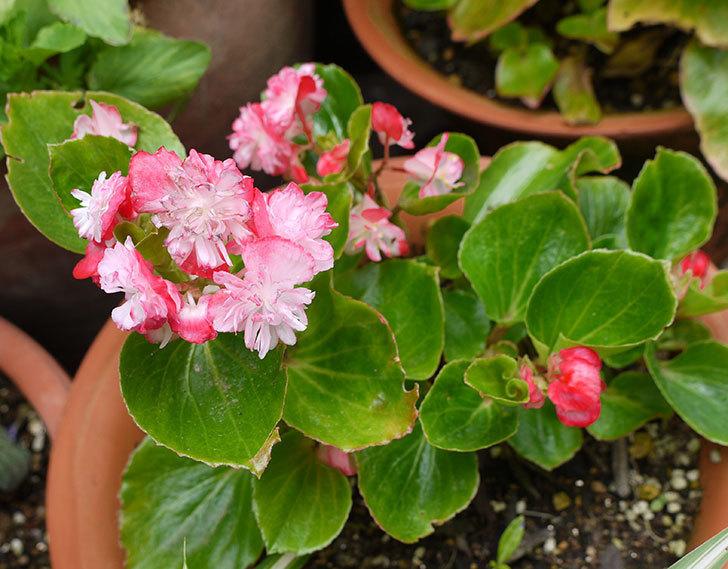 ピンクのベゴニアが咲いた。2016年-1.jpg