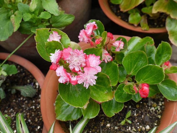 ピンクのベゴニアが咲いた。2016年-3.jpg