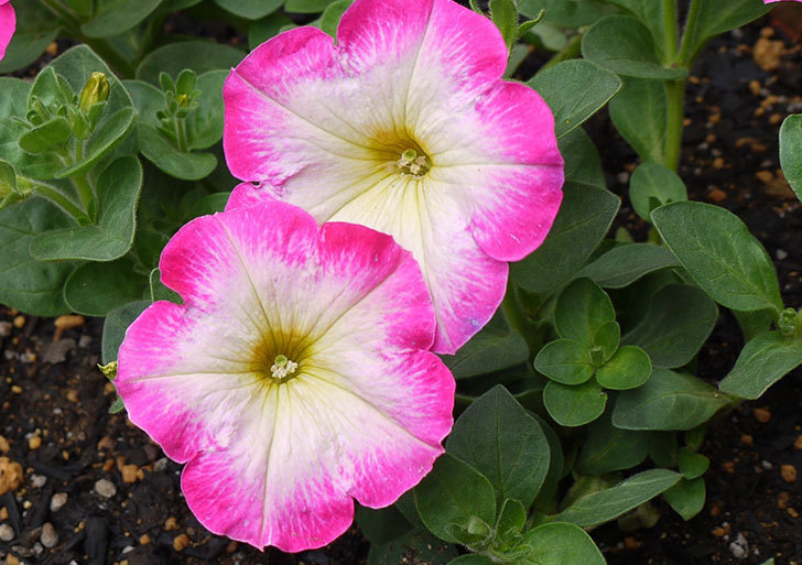 ピンクのペチュニアが咲いた2.jpg