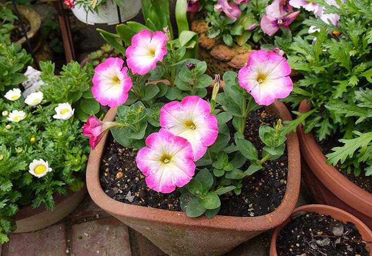 ピンクのペチュニアが咲いた3.jpg