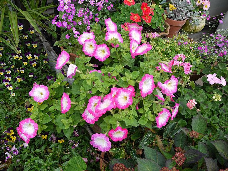 ピンクのペチュニアが大量に咲いた1.jpg
