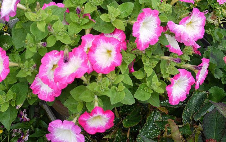 ピンクのペチュニアが大量に咲いた2.jpg