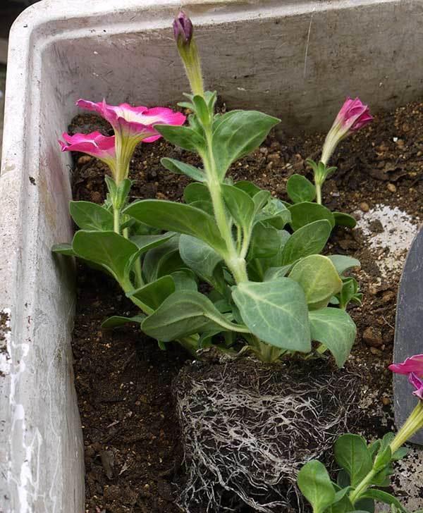 ピンクのペチュニアを2個を鉢に植えた2.jpg