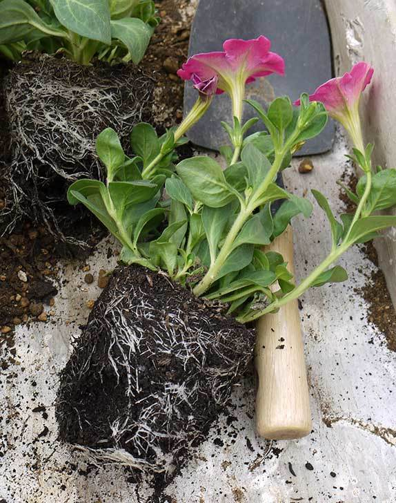 ピンクのペチュニアを2個を鉢に植えた3.jpg