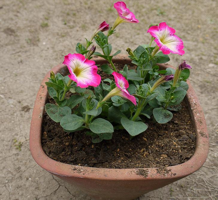 ピンクのペチュニアを2個を鉢に植えた4.jpg