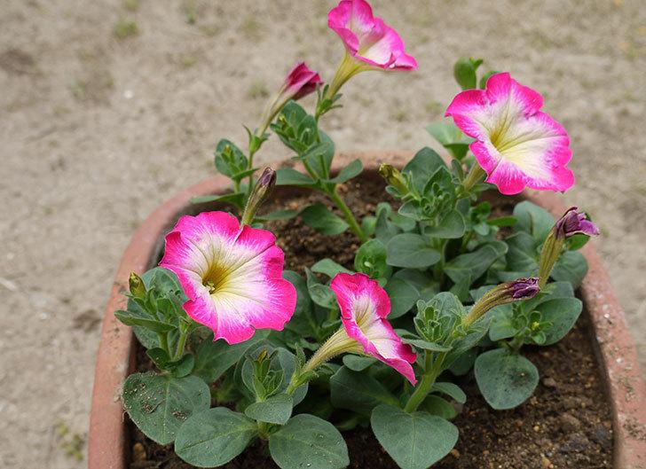 ピンクのペチュニアを2個を鉢に植えた5.jpg