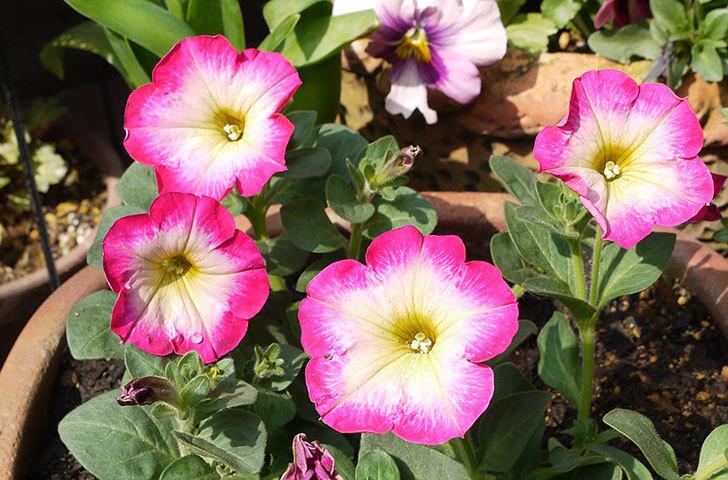ピンクのペチュニアを2個を鉢に植えた7.jpg