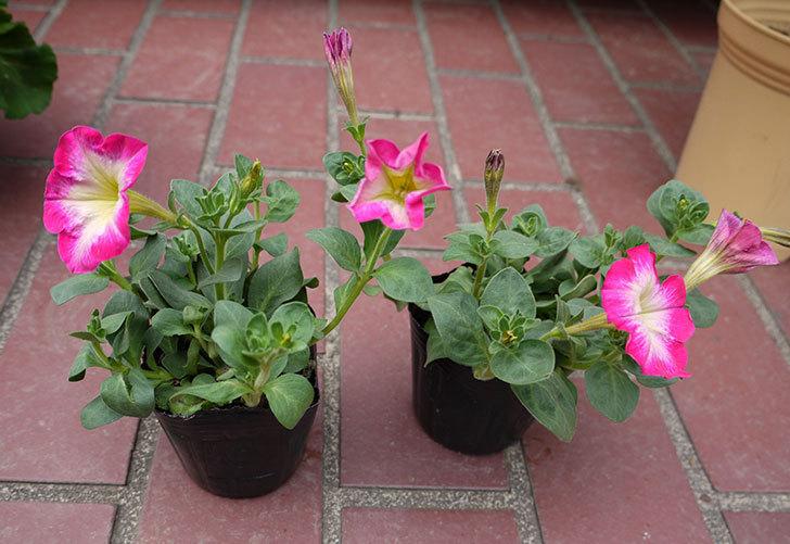 ピンクのペチュニアを2個買ってきた1.jpg