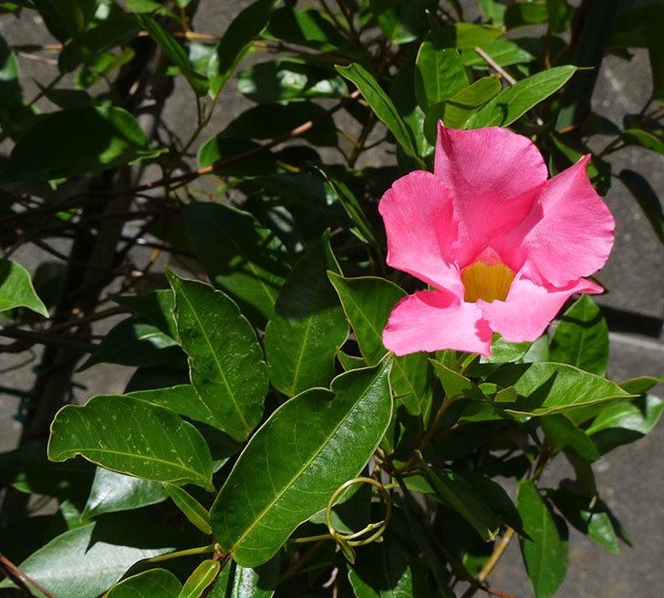 ピンクのマンデビラがまた咲きだした。2016年-1.jpg