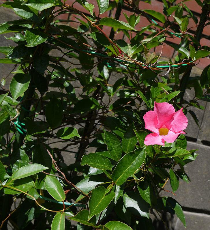 ピンクのマンデビラがまた咲きだした。2016年-4.jpg