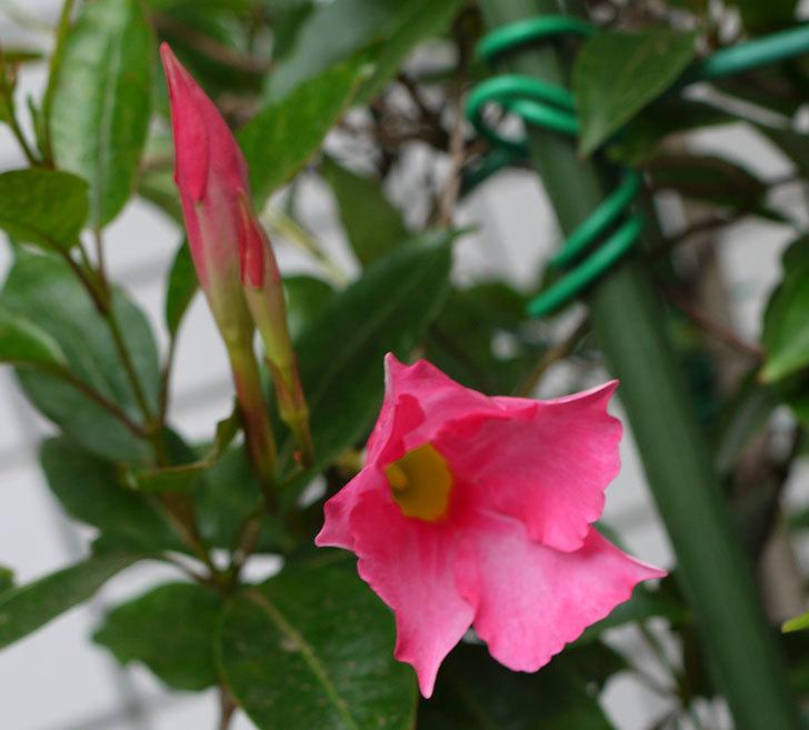 ピンクのマンデビラが咲いた。2016年-1.jpg