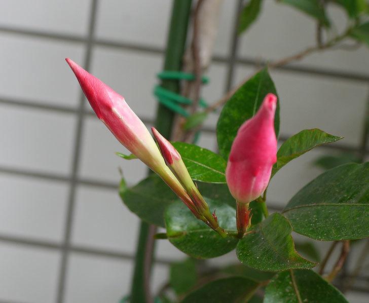 ピンクのマンデビラが咲いた。2016年-3.jpg