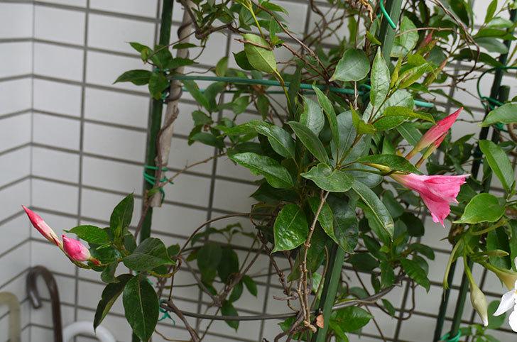ピンクのマンデビラが咲いた。2016年-4.jpg