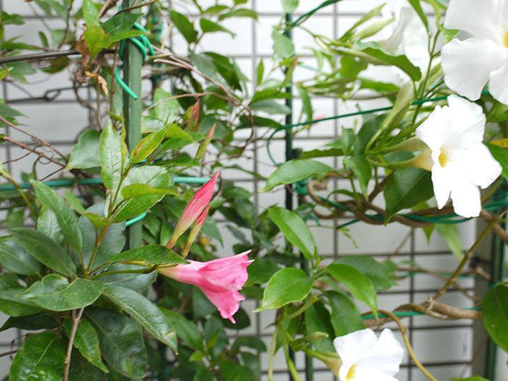 ピンクのマンデビラが咲いた。2016年-5.jpg
