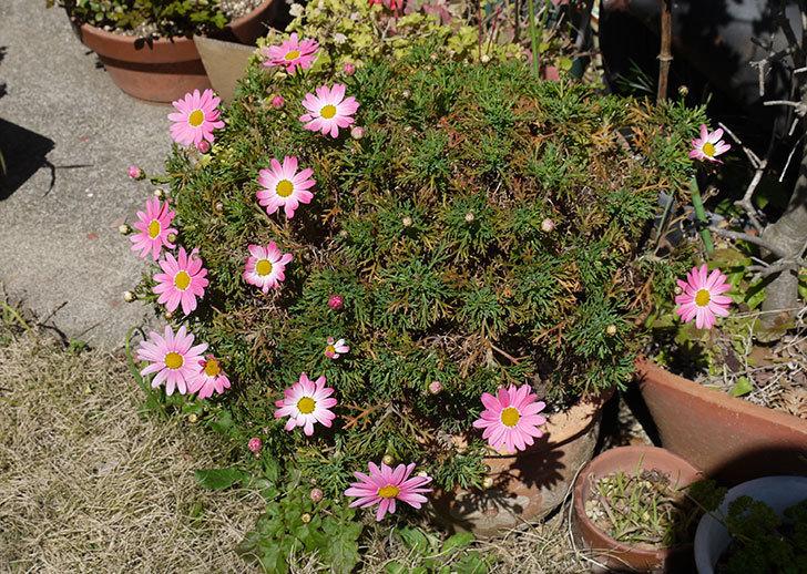 ピンクのマーガレットがたくさん咲いた2.jpg