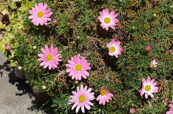 ピンクのマーガレットがたくさん咲いた3.jpg