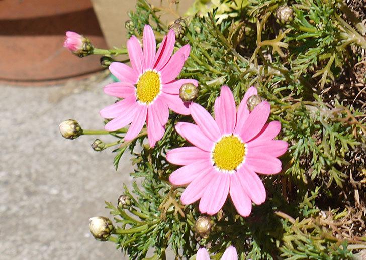 ピンクのマーガレットがたくさん咲いた4.jpg