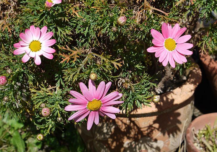 ピンクのマーガレットがたくさん咲いた5.jpg