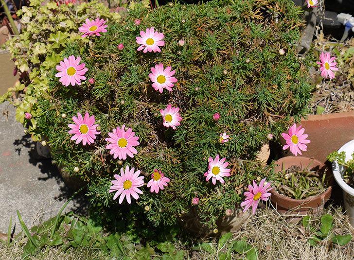 ピンクのマーガレットがたくさん咲いた1.jpg
