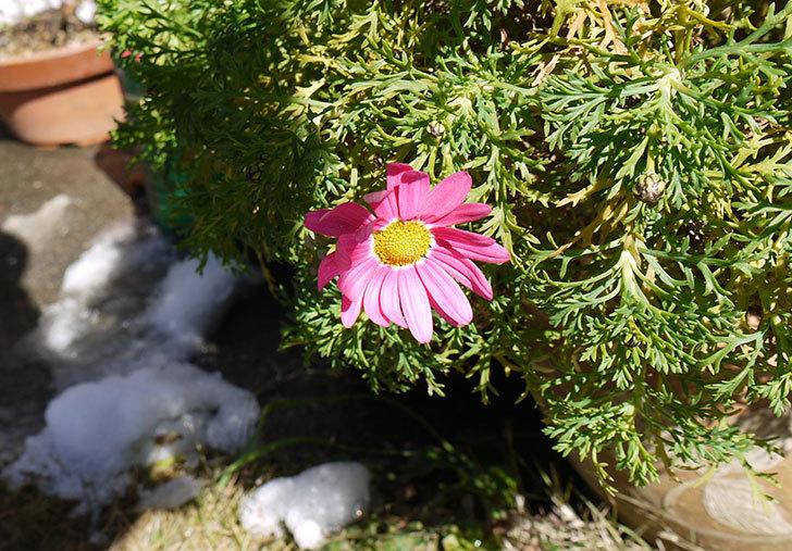 ピンクのマーガレットが咲いた1.jpg