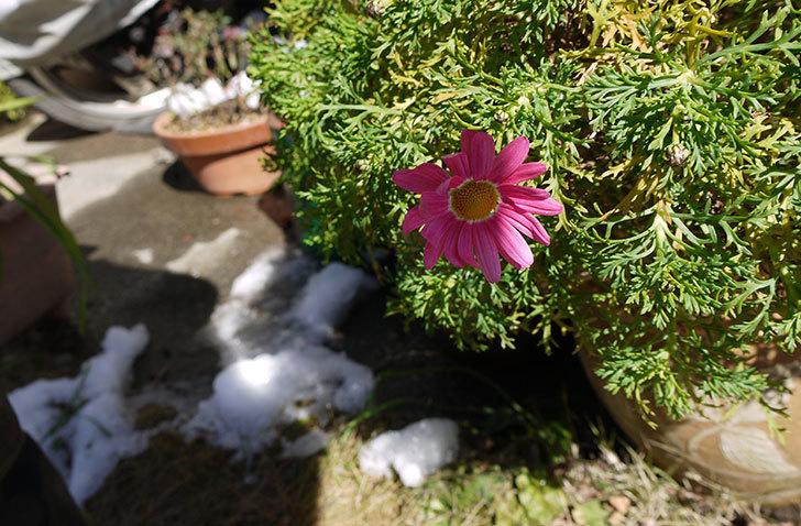 ピンクのマーガレットが咲いた2.jpg