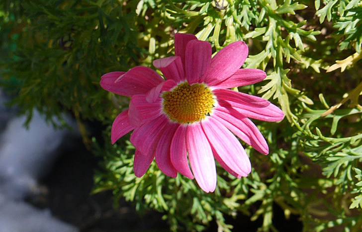 ピンクのマーガレットが咲いた3.jpg