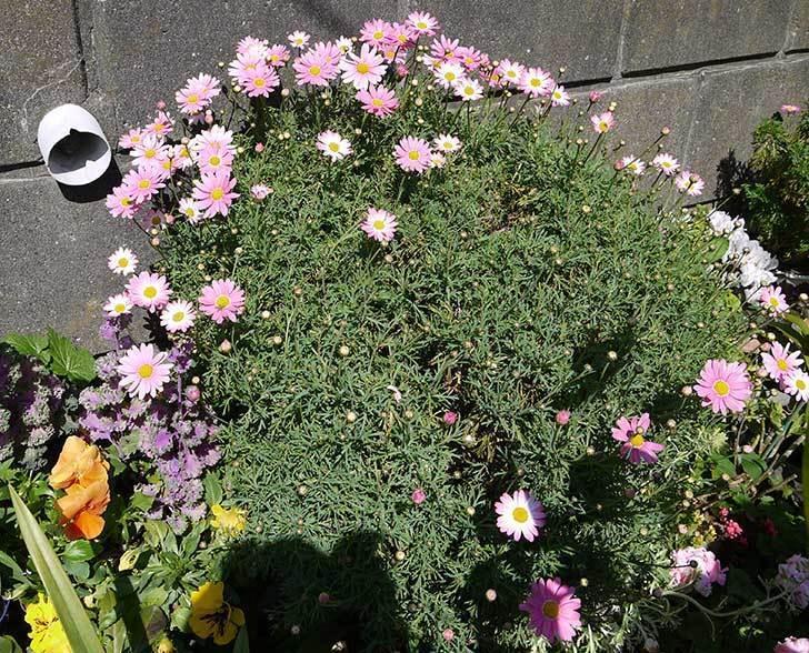 ピンクのマーガレットが咲いた。2015年-3.jpg
