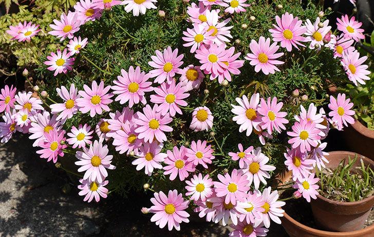 ピンクのマーガレットが更に咲いた1.jpg