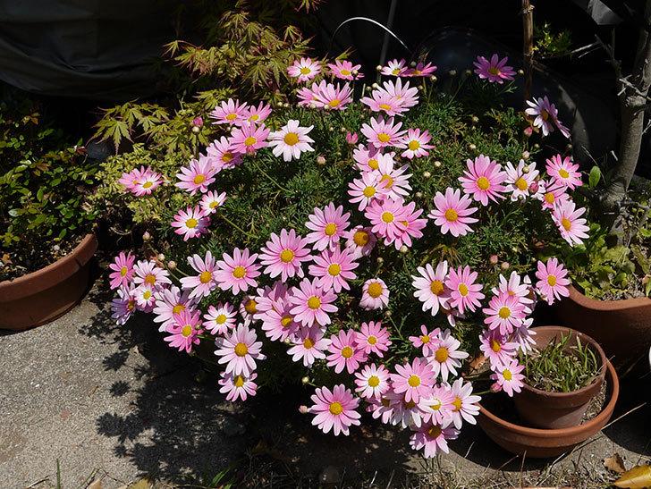 ピンクのマーガレットが更に咲いた2.jpg