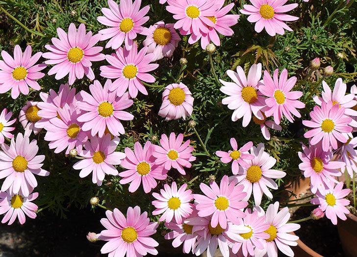 ピンクのマーガレットが更に咲いた3.jpg