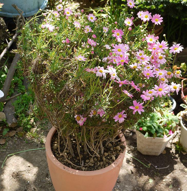 ピンクのマーガレットの鉢を植え替えた。2016年-1.jpg