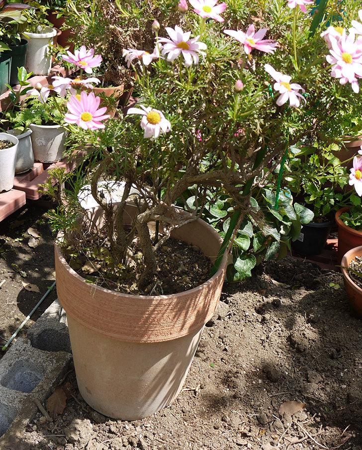 ピンクのマーガレットの鉢を植え替えた。2016年-16.jpg