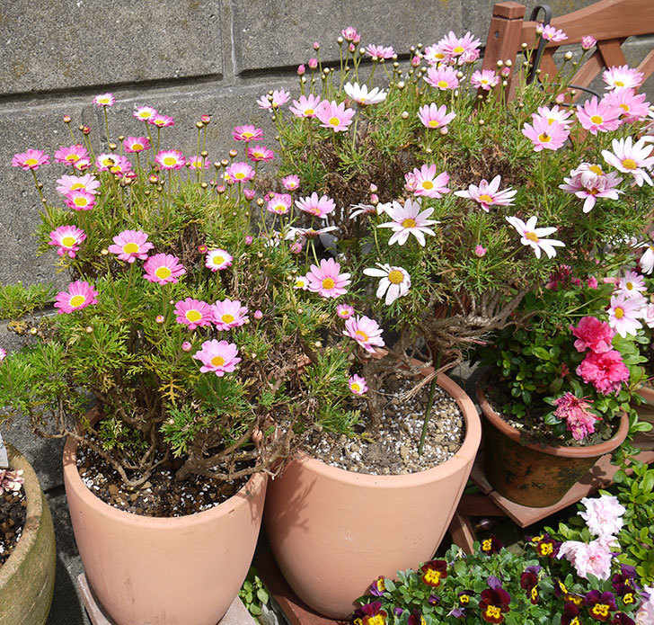 ピンクのマーガレットの鉢を植え替えた。2016年-25.jpg
