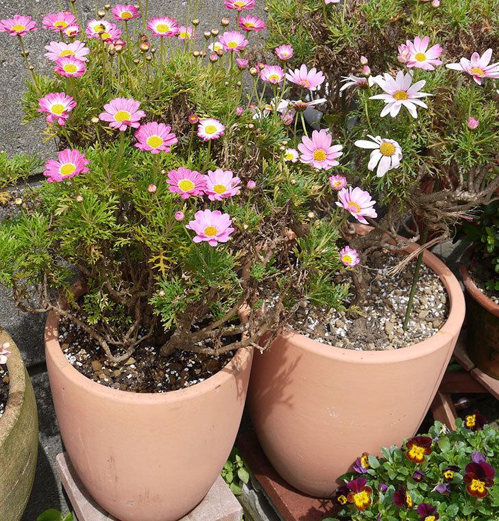 ピンクのマーガレットの鉢を植え替えた。2016年-26.jpg