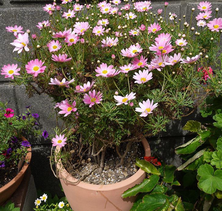 ピンクのマーガレットの鉢を植え替えた。2016年-27.jpg
