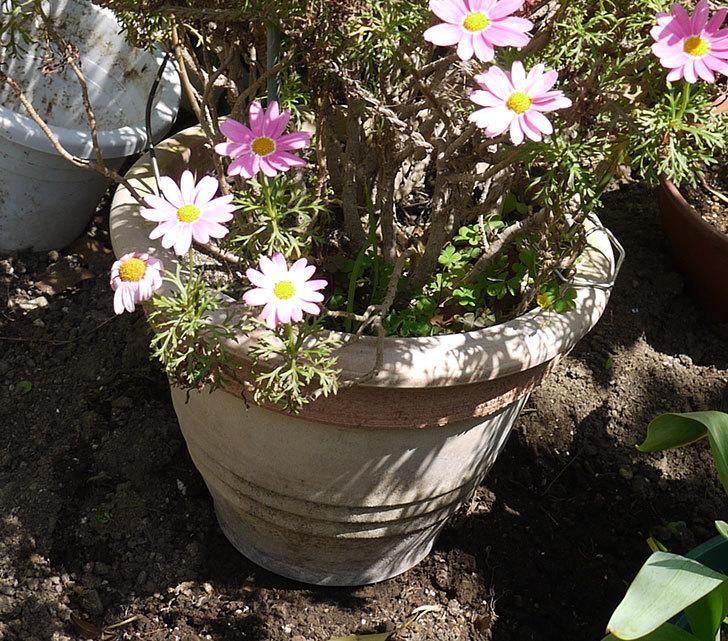 ピンクのマーガレットの鉢を植え替えた。2016年-3.jpg