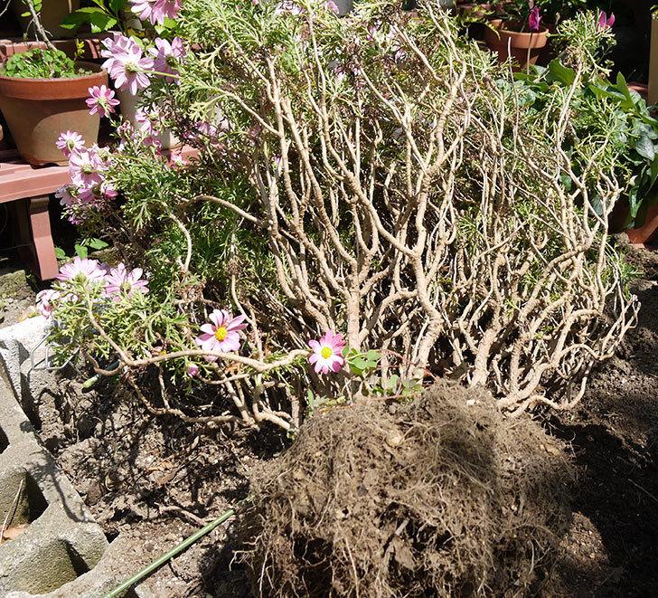 ピンクのマーガレットの鉢を植え替えた。2016年-5.jpg