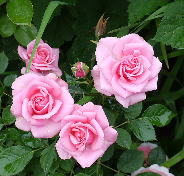 ピンクのミニバラがたくさん咲いた。2017年-2.jpg
