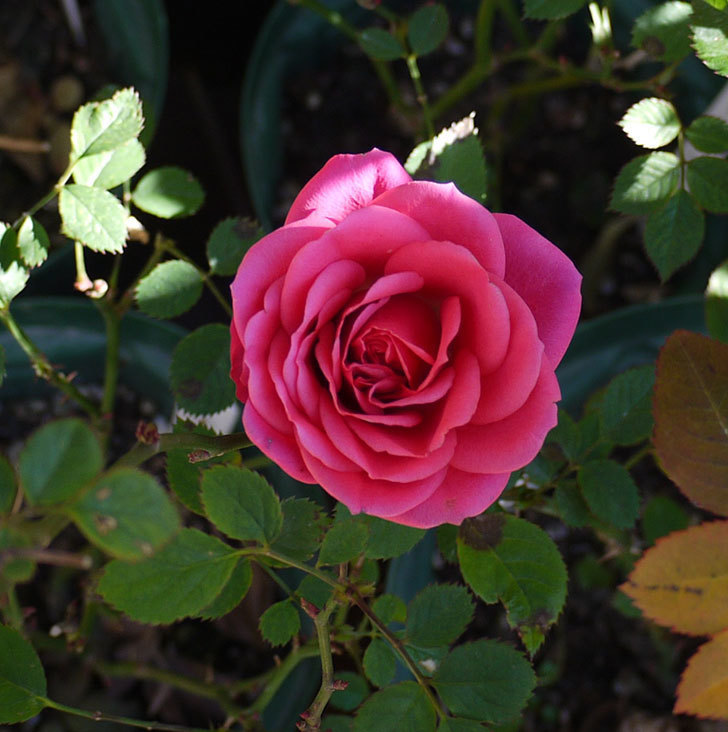 ピンクのミニバラがまだ咲いている。2017年-3.jpg