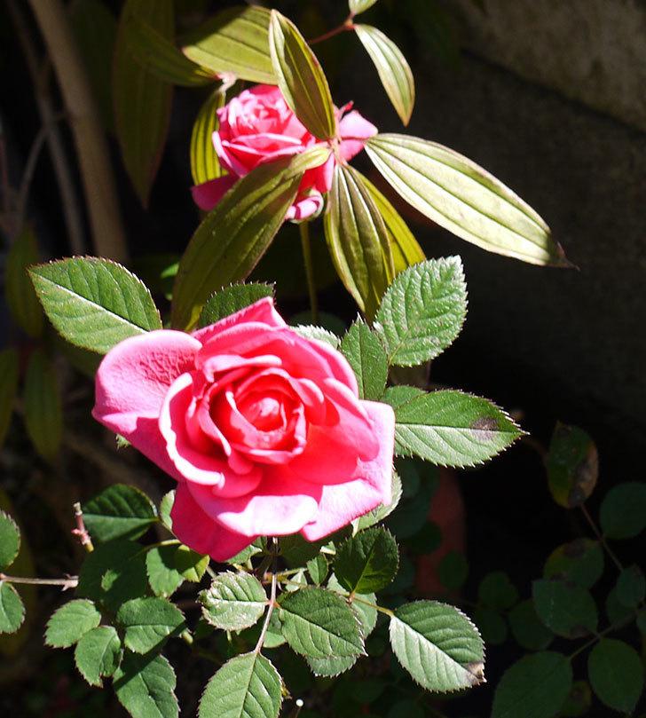 ピンクのミニバラがまだ咲いている。2017年-4.jpg