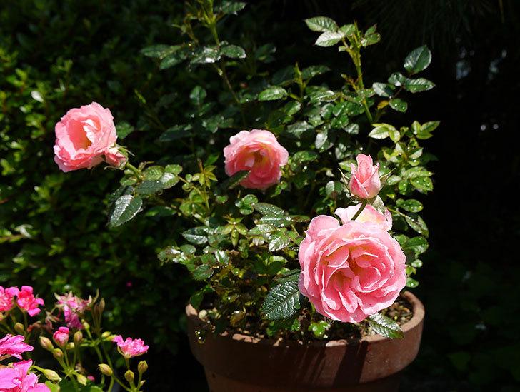 ピンクのミニバラが咲いた1.jpg