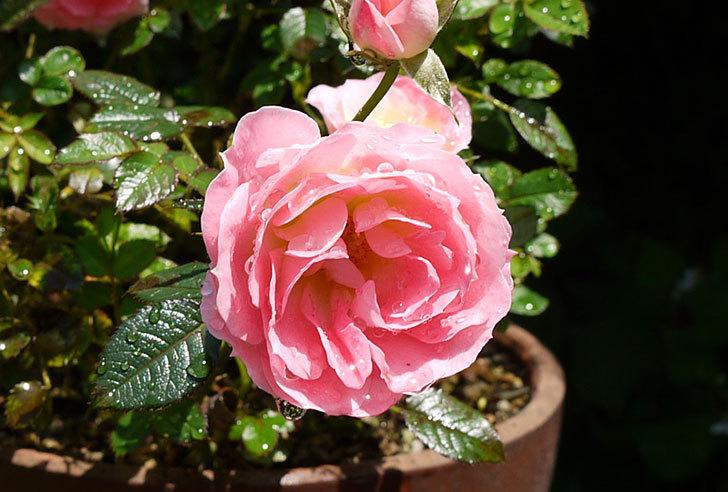 ピンクのミニバラが咲いた2.jpg