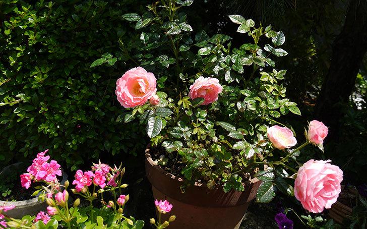 ピンクのミニバラが咲いた3.jpg