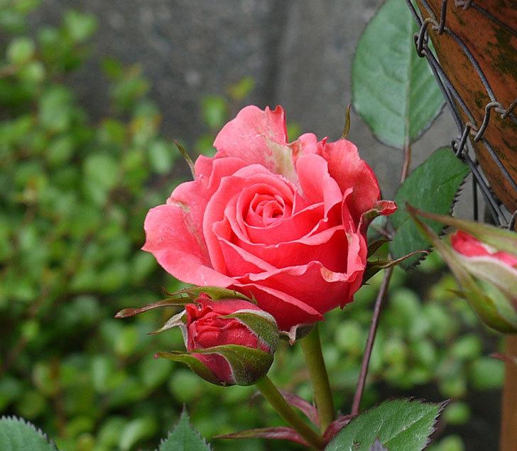 ピンクのミニバラが咲いた。2017年-2.jpg