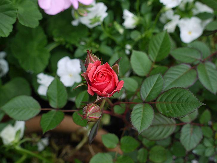 ピンクのミニバラが咲いた。2017年-4.jpg