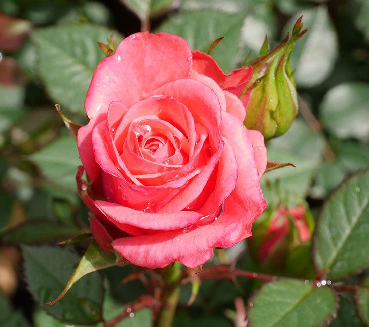 ピンクのミニバラの花が咲きだした。2019年-2.jpg