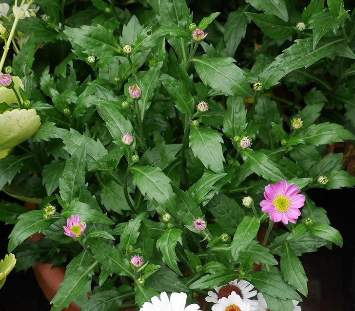 ピンクのミヤコワスレ(ノシュンギク)の花が1個咲いた。2018年-1.jpg