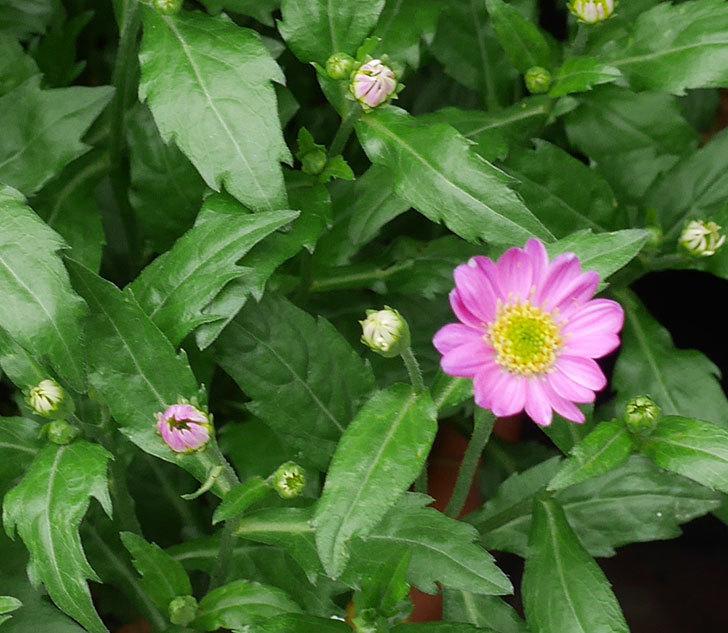 ピンクのミヤコワスレ(ノシュンギク)の花が1個咲いた。2018年-2.jpg