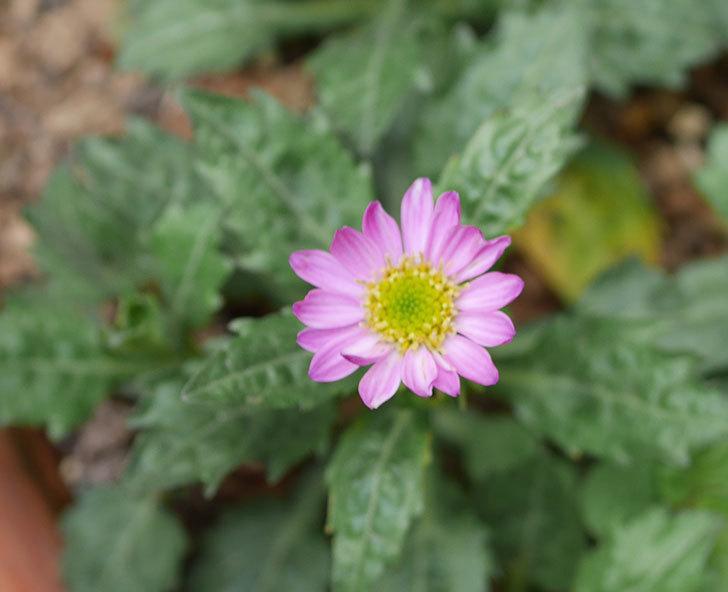 ピンクのミヤコワスレ(ノシュンギク)の花が1個咲いた。2020年-1.jpg